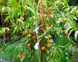 Кустовой персик