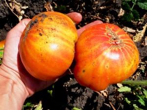 pomidory-zebra-giant-vi-color-zebra-gigant