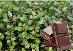 Мята Шоколад