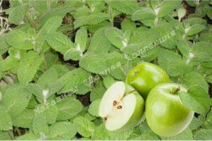 Яблочная (Апфелминце) мята