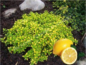 Тимьян лимонный