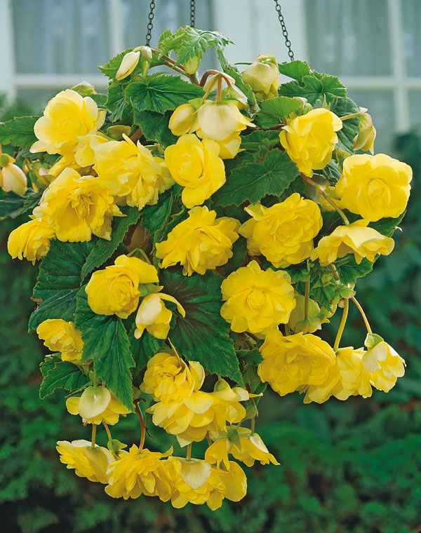 10214-begonia-pendula-yellow-104
