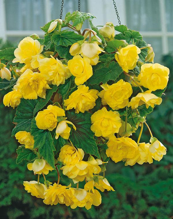 10214-begonia-pendula-yellow-104