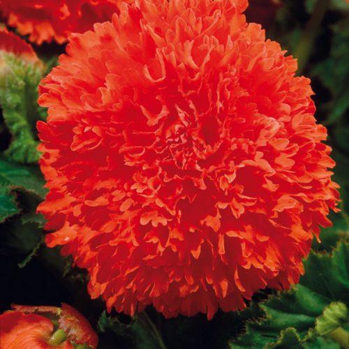 Begonia fimbriata