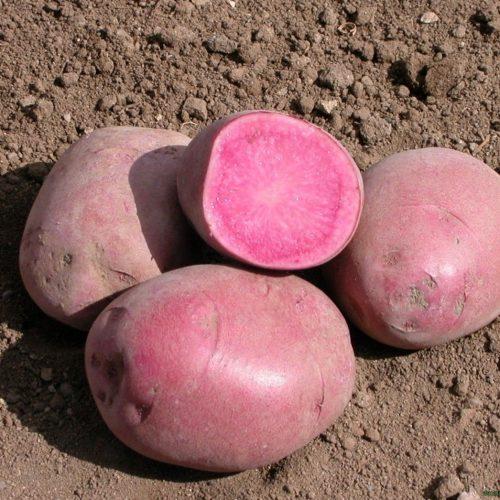 Картофель Горная роза - «Mountain rosе»
