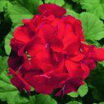 Пеларгония зональная (Pelargonium hortorum F1) Ringo 2000 Cardinal