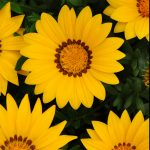 Гацания жестковатая (Gazania rigens F1) New Day Yellow