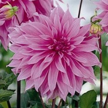 georgina-vavilon-pink