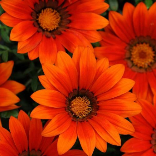 Гацания жестковатая (Gazania rigens F1) New Day Bronze Shade