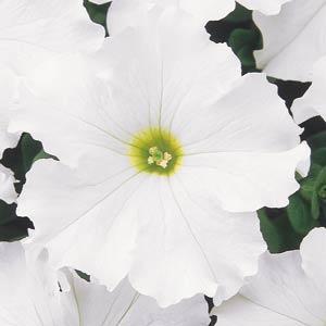 petuniya-krupnocvetkovaya-dreams-white