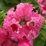petuniya-krupnocvetkovaya-frillytunia-rose