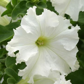 petuniya-krupnocvetkovaya-frillytunia-white