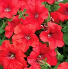 petuniya-krupnocvetkovaya-petunia-grandiflora-falcon-f1-red