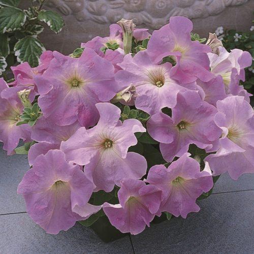petuniya-krupnocvetkovaya-supercascade-lilac-2
