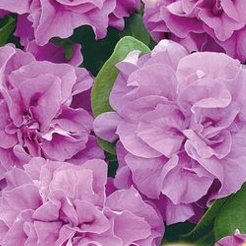 petuniya-makhrovaya-duo-lavender