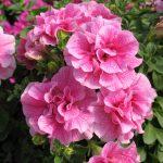 petuniya-makhrovaya-duo-pink-satin