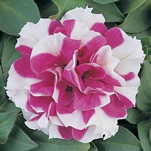 petuniya-makhrovaya-duo-rose-white