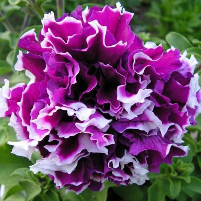 petuniya-makhrovaya-pirouette-purple
