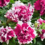 petuniya-makhrovaya-pirouette-rose