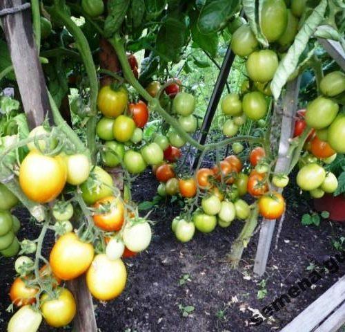 pomidory-urozhaynye-guseva2