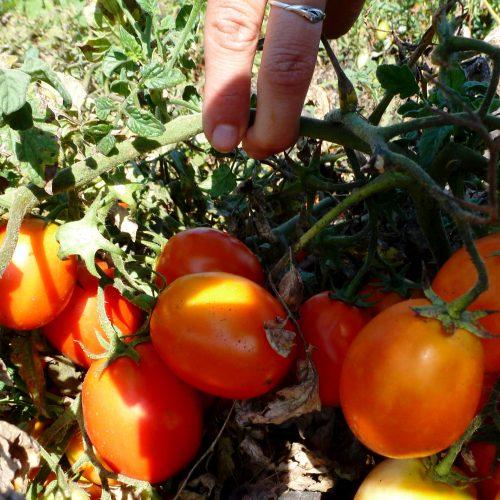 pomidory-kecskemeti-jubileum-kechkemeti-yubileynye2