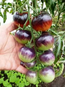 tomat-blueberry-tomato-chernika2