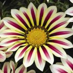 Гацания жестковатая (Gazania rigens F1) Big Kiss White Flame