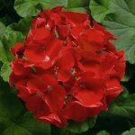 Пеларгония зональная (Pelargonium hortorum F1) Ringo 2000 Deep Scarlet