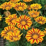 Гацания жестковатая (Gazania rigens F1) Big Kiss Yellow Flame