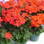 Пеларгония зональная (Pelargonium x hortorum F1) Nano Red