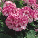 Пеларгония зональная (Pelargonium hortorum F1) Maverick Star