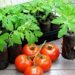 rassada-tomata