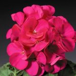 Пеларгония зональная (Pelargonium hortorum F1) Ringo 2000 Violet