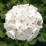 Пеларгония зональная (Pelargonium hortorum F1) Ringo 2000 White