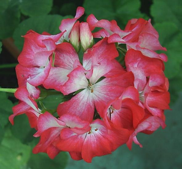 Пеларгония зональная (Pelargonium hortorum F1) Ringo 2000 Scarlet Star
