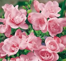 freziya-makhrovaya-pink