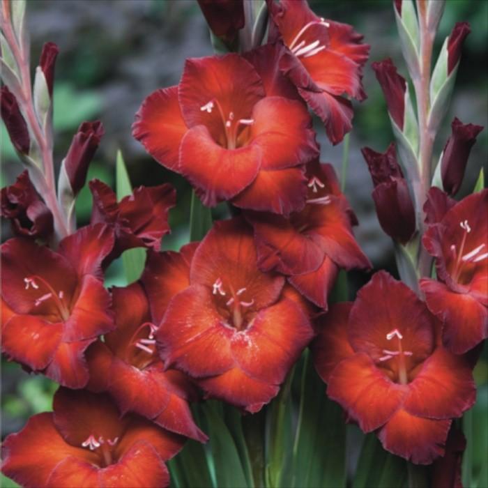 gladiolus-azurro
