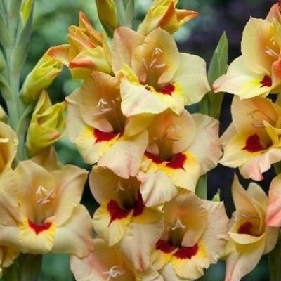 gladiolus-bochelli