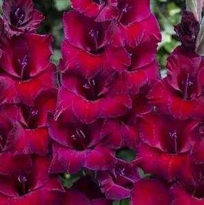 gladiolus-don-luidzhi