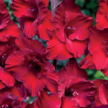gladiolus-dot-kom