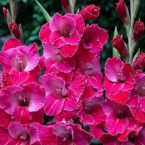 gladiolus-eva-puksye