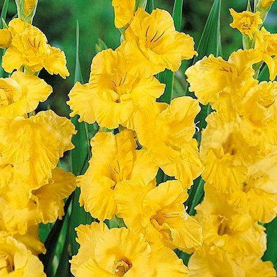gladiolus-goldfild