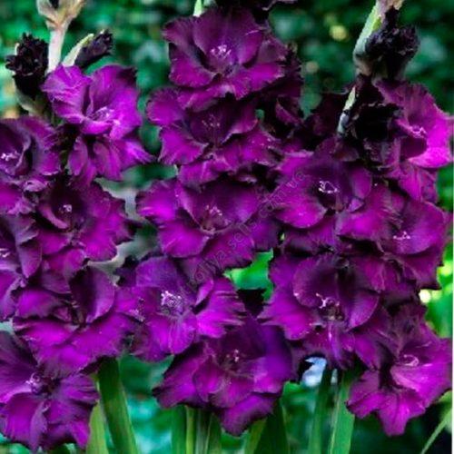 gladiolus-mambasa