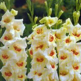 gladiolus-myeri-khasli