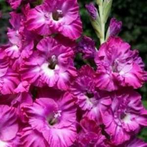 gladiolus-nayrobi-frizzls