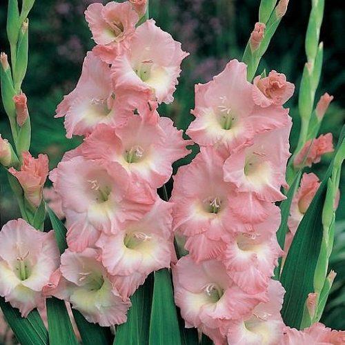 gladiolus-rouz-suprim