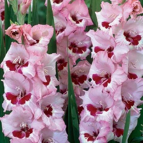 gladiolus-vayn-yend-rozes
