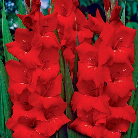 gladiolus-viktor-borge