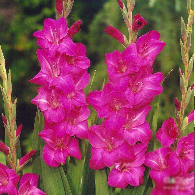 gladiolus-violet-mun