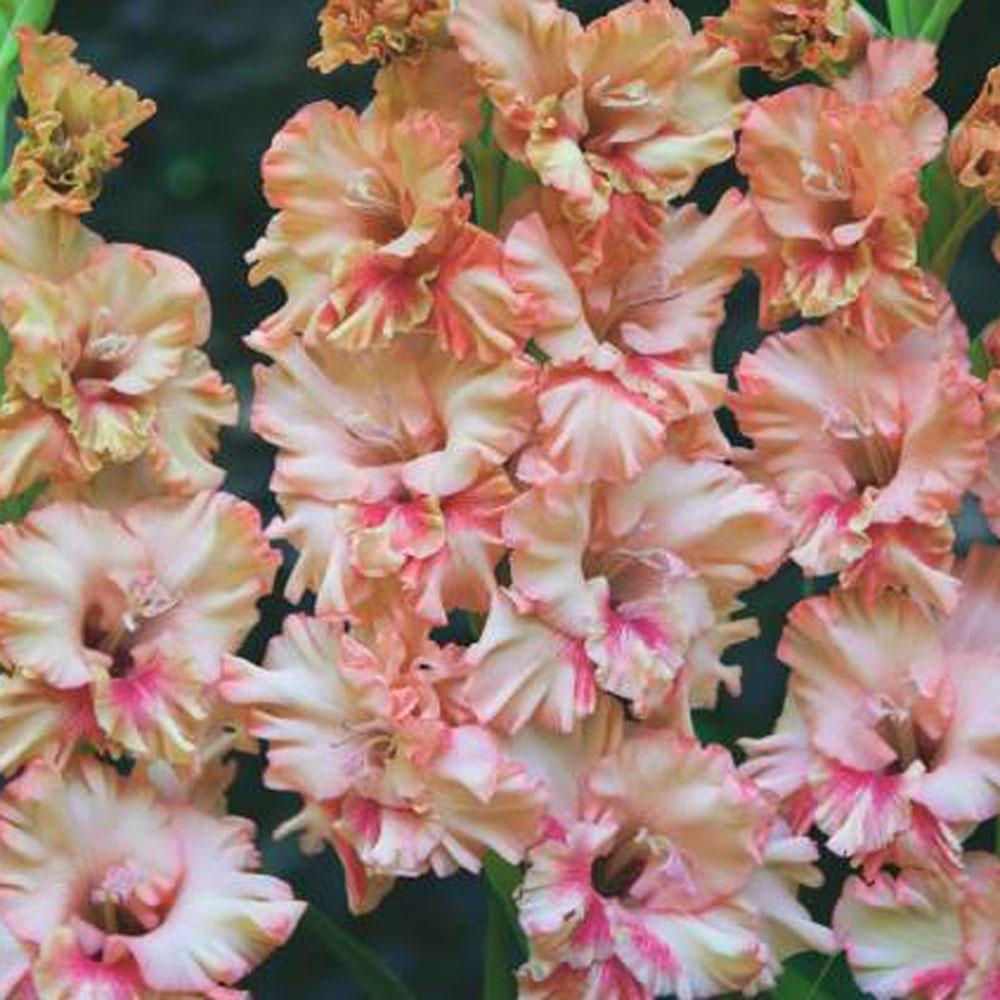 gladiolus-gofrirovannyy-kissi-raffl